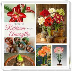 True amaryllis/Hippeastrum/Belladonna Lily/flower bulbs not seeds/rainbow colors /bonsai flowers for home&garden planting 3/pack
