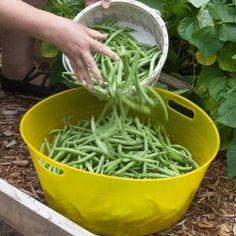 How to Grow Bush Beans