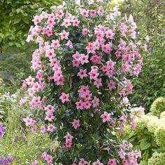 dipladenia or mandevilla- Tropical vine, drought tolerant