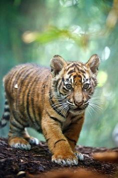 Rencontre bébé tigre