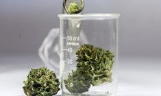 On Wednesday, Canada legalized cannabis, and the move provide medical researchers with the opportunity to develop promising new treatments. How To Treat Anxiety, Stress And Anxiety, Endocannabinoid System, Bodily Functions, Cannabis News, Cannabis Plant, How To Relieve Stress, How To Fall Asleep, Need To Know