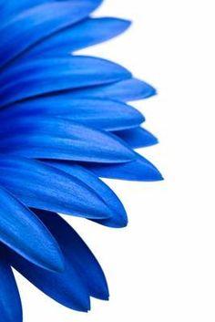 Sascha Burkard - blue daisy isolated on white
