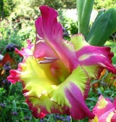 Gladiolus seeds, 100 pcs gladiolus flower seeds, germination, rare sword lily flower for home garden 8 Rare Flowers, Bulb Flowers, Beautiful Flowers, Unique Flowers, Blooming Flowers, Gladiolus Bulbs, Gladiolus Flower, Rain Lily, Summer Bulbs