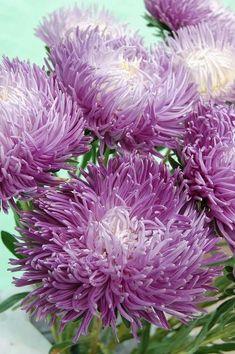 Фото Цветов, Фиолетовые Цветы, Натюрморт, Красивые Цветы, Сад, Фиолетовые Розы, Красивые Розы