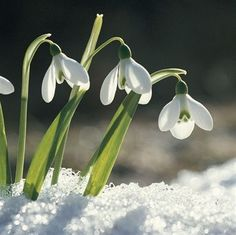Cool weather plants add color and interest to your winter garden. Here are twelve plants that will shine during the dark, gray months. Snow Drops Flowers, Snow Flower, Winter Flowers, Flowers Nature, Spring Flowers, Beautiful Flowers, Exotic Flowers, Purple Flowers, January Birth Flowers