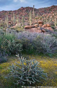 Spring in the Sonoran Desert (Arizona)- I hope to see it in the spring some day