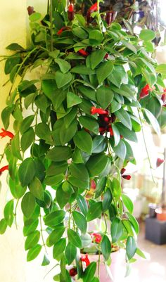 How to Care for a Lipstick Plant. Lipstick plants (Aeschynanthus radicans) are epiphytic vines native to Malaysia. Epiphytes grow in the branch crotches and crevices of trees or rocks but they do not feed off their hosts. In fact, lipstick. Indoor Garden, Indoor Plants, Patio Plants, Lipstick Plant, Pot Plante, Modern Master Bathroom, Bathroom Plants, Wet Rooms, Tropical Plants