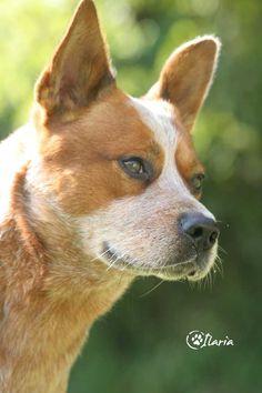 Ti presento… l'Australian Cattle Dog
