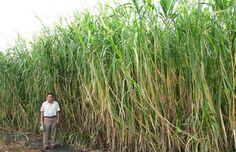 Napier Grass can grow to over 17 feet