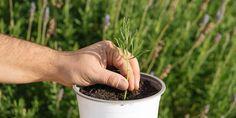 Πολλαπλασιασμός λεβάντας: δημιουργούμε νέα φυτά με μοσχεύματα | Τα Μυστικά του Κήπου Garden, Flowers, Botany, Plant, Garten, Lawn And Garden, Gardens, Gardening, Royal Icing Flowers