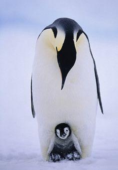 Classic Penguin shot