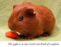 cute guinea pig pictures - Google Search
