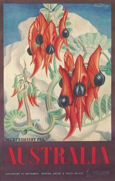By EILEEN MAYO (1906-1994) | AUSTRALIA / STURT'S DESERT PEA. 1956 Australian Wildflowers, Australian Flowers, Pea Flower, Flower Art, South Australia, Australia Travel, Terra Australis, Posters Australia, Flower Vintage