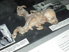 Piglet with dipygus on exhibit at the Ukrainian National Chornobyl Museum.