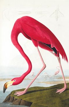 Audobon's 'Birds of America' - Flamingo