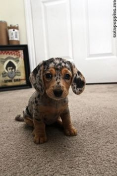:)  Dachshund puppies are the sweetest!