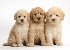 Photograph of Three cute Toy Goldendoodle puppies. Rights managed white background Dogs image. Cute Baby Dogs, Cute Baby Animals, Cute Puppies, Cute Babies, Toy Goldendoodle, Cat Zingano, Cute Puppy Pictures, Puppy Party, Cute Toys