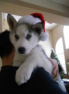 Husky Puppy At Christmas Time