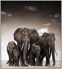superbe photo en noir et blanc! Photo Elephant, Elephant Pictures, Elephants Photos, Save The Elephants, Elephant Love, Elephant Art, African Elephant, African Animals, Animal Pictures