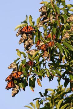 monarch butterflies migration - Google Search