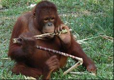 One of the orangutans on Bos Nyaru Menteng