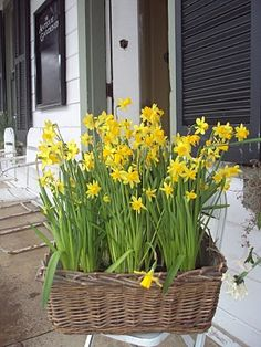 Bright yellow miniature daffodils in a vintage basket-very pretty early spring decoration for garden, conservatory or house.