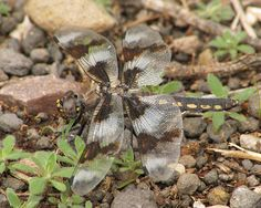 Eight-spotted Skimmer, damsel.