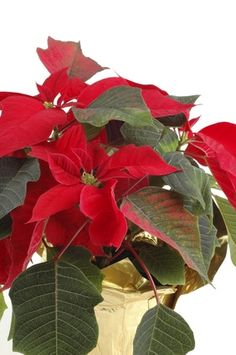 How to Make a Poinsettia's Leaves Turn Red: Put the plant in a closet or under a box for at least 13 hours a day from late September through late November. During this time poinsettias will need no more than 11 hours of light a day.
