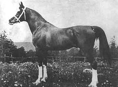 AbuZeyd Foaled 1904 GSB AHR Chestnut Stallion Bred by Hon George Saville Imported by Homer Davenport in 1910 Strain: Kuhaylan or Kehilan Horse Racing, Race Horses, Horse Coat Colors, Beautiful Arabian Horses, Akhal Teke, Horse World, All The Pretty Horses, Vintage Horse, Trail Riding