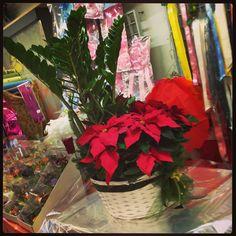 Cesto natalizio con Zamiculcas e stella di Natale... lo trovi anche nel nostro #shop online