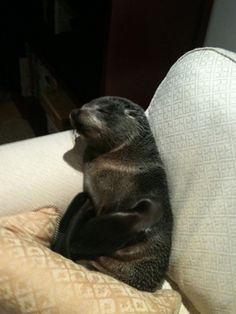The most adorable invasion in history: The seal came from a bay, went through a residential area, across roads, under a gate, through a cat door, up some stairs, and onto a couch where it cuddled up and tried to sleep.