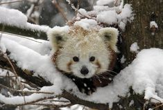 Red pandas are cute even in snow storms #CuteAlert