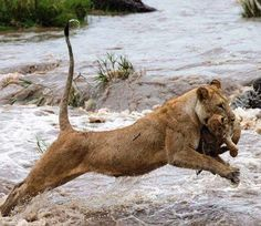 Lioness helps cub across flooded stream.