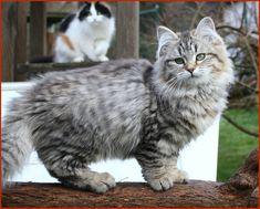 Sibirische Katze Ginevra