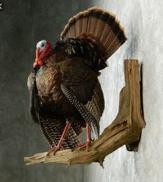 Turkey mount                                                                                                                                                     More