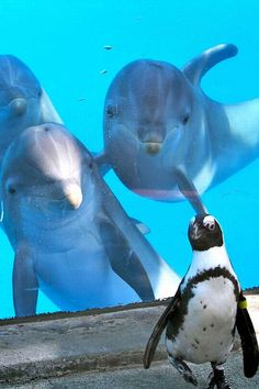 """A Dolphin Photobomb!  Penguin: """"Don't tell me!  Those Dolphins are behind me AGAIN aren't they?!""""                (#Dophins #Photobomb #Penguin. )"""