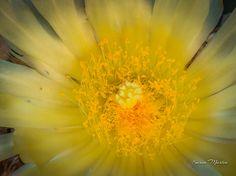 Yellow Cactus Flower, Arizona
