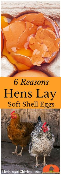 If you have chickens laying soft eggs and aren't sure what to do about it, you're in luck because I have plenty of answers. Soft eggs, also…