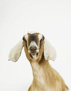 goaty goat goat
