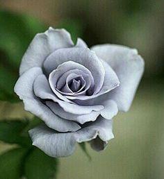 Rose 'Ondina' (image by Motony)