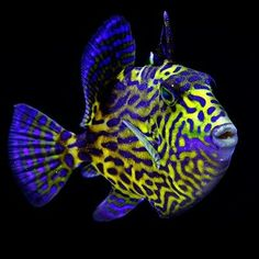 Top 13 Most Colorful Freshwater Fish - meowlogy Aquarium Marin, Marine Aquarium, Marine Fish, Aquarium Fish, Underwater Creatures, Underwater Life, Colorful Fish, Tropical Fish, Beautiful Sea Creatures