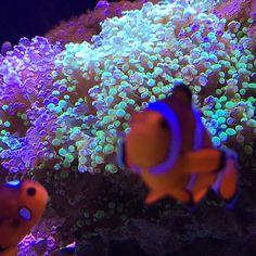 #coral #reeftank #coralreeftank #reef #reefpack #reef2reef #reefcandy #reefersdaily #reefrEVOLution #coralreef #coraladdict #reefaholiks #reefjunkie #reeflife #instareef  #allmymoneygoestocoral #instareef  #reefpackworldwide