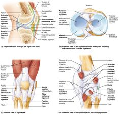 What is a synovial joint with pictures knee pinterest knee anatomy ligaments and tendons human anatomy diagram 28 images knee anatomy diagram bones tendons ligaments knee wiring knee tendons anatomy human ccuart Images
