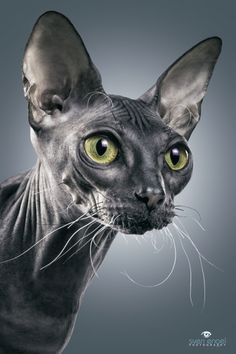The Dwelf cat is a new cat breed. This cat includes the bald attribute of the Sphynx cat, the small thighs of the Munchkin kitten along with the curled ears of the American Curl. The result is a really unique-looking pet. Gato Sphinx, Sphynx Gato, Hairless Cats, Rex Cat, I Love Cats, Cool Cats, Crazy Cats, Beautiful Cats