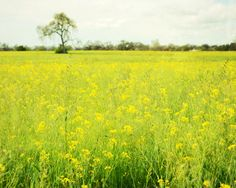 Mustard Production Raises by 21.4% in IndiaThe highest mustard production in Rajasthan state determine the oilseed output to increase by 21.4% to 3.5 million tons in the planting season that began October 1, from a low base last year which is sleet and rains damaged crops.Continue…………..For more information visit:-http://goo.gl/vZqdOY