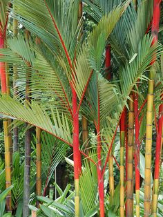 Red Sealing Wax, Lipstick Palm Tree Cyrtostachys Renda #PA-C-REND
