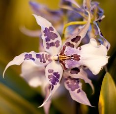 orchid > I believe one of the miltonia/oncidium family, but happy to be corrected