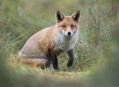 Red Fox - Red Fox www.facebook.com/julian.rad.photography