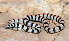 Sinai Racer (Platyceps sinai), Desert, Israel