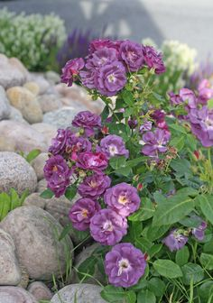 Rosa 'Rhapsody in Blue' adds fragrance and a visual focus. #gardenista